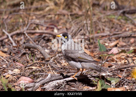 Noisy miner foraging on the ground in Picton NSW Auatralia - Stock Photo