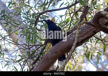 Pied currawong perched on bough of tree in Grampians National Park Victoria Australia - Stock Photo
