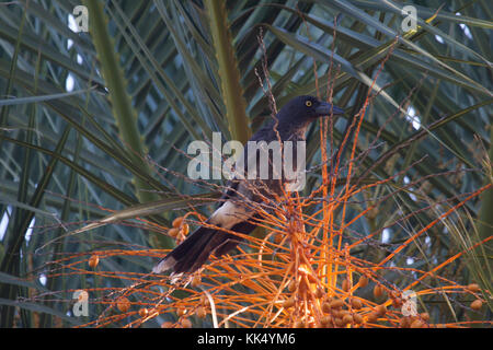 Pied currawong perched in Palm tree in Grampians National Park Victoria Australia - Stock Photo