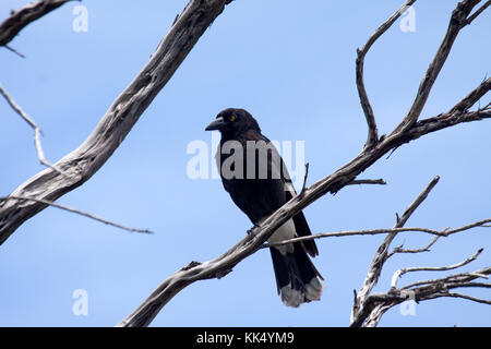 Pied currawong perched in tree in Picton NSW Australia - Stock Photo