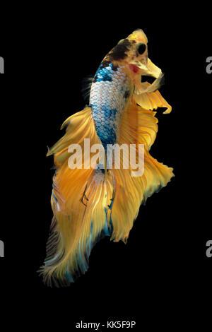 Fine art concept close up beautiful movement of 'yellow fancy Half moon' Betta fish, fighting fish isolated - Stock Photo