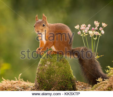 red squirrel standing on rock with moss - Stock Photo