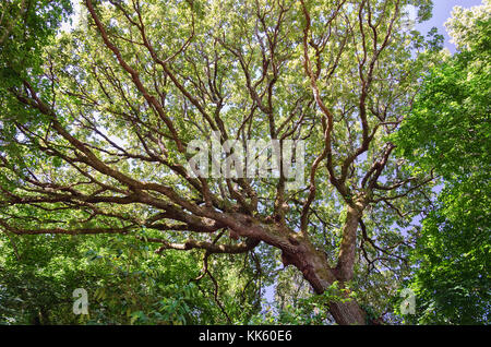 Beautifully shaped trunk and branches of huge oak tree from below. Sky and deciduous forest at the background. Summer - Stock Photo