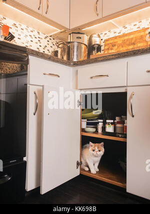 A young exotic shorthair kitten hiding in a cabinet. (8 weeks old) - Stock Photo
