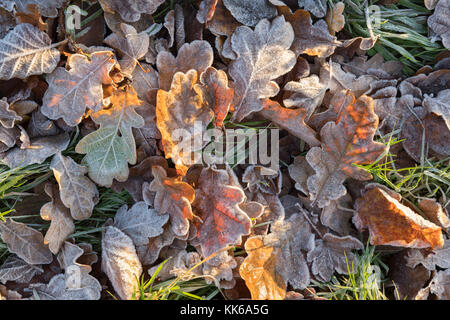Frost covered oak tree leaves on ground on winter morning, Burwash, East Sussex, England, United Kingdom, Europe - Stock Photo