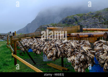 Artic cod drying on wooden frames in front of a mist covered mountain in the Lofoten Islands, Norway, Europe - Stock Photo