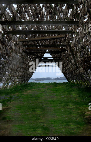 Artic cod drying on wooden A frame racks besides a fjord in the Lofoten Islands, Norway, Europe - Stock Photo