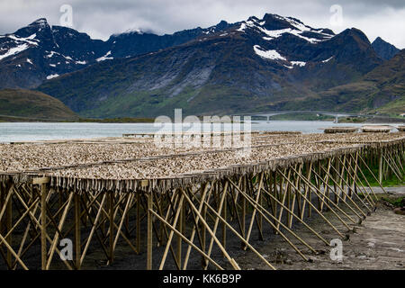 Artic cod drying on wooden racks besides a fjord in the Lofoten Islands, Norway, Europe - Stock Photo