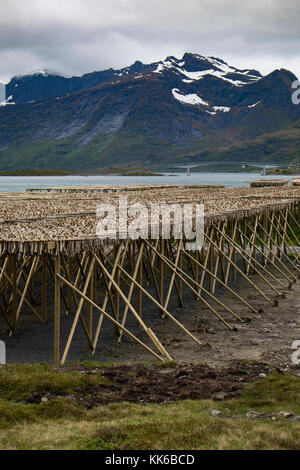 Wind drying code on wooden frames is a  part of the traditional method of preserving fish in the Lofoten Islands, - Stock Photo