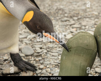 Curious king penguin checks out an ecotourist's rubber boot at St Andrew's Bay, South Georgia Island - Stock Photo