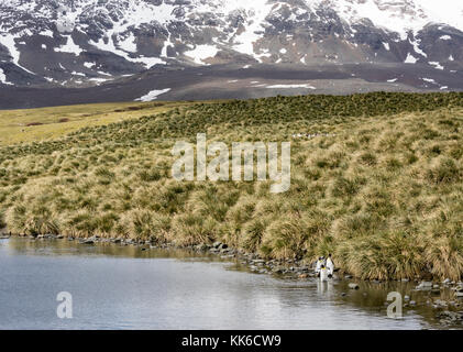 King penguins and colony in tussock grass at Salisbury Plain, South Georgia Island - Stock Photo
