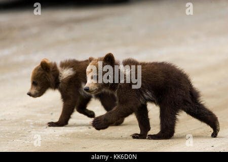 Grizzly bear (Ursus arctos) Two cubs of the year crossing the park road in Throfare Pass, Denali National Park - Stock Photo