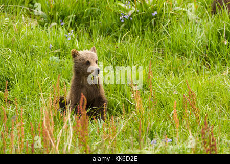 Grizzly bear (Ursus arctos) spring cub feeding with its sibling and mother in Sable Pass, Denali National Park
