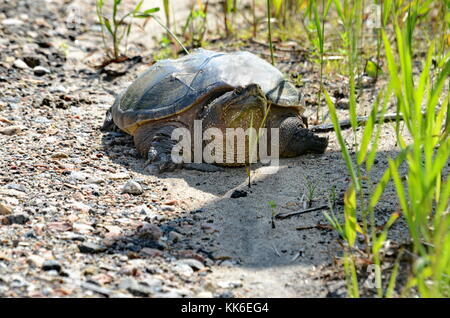 A Snapping turtle in the wilderness in Ontario, Canada - Stock Photo