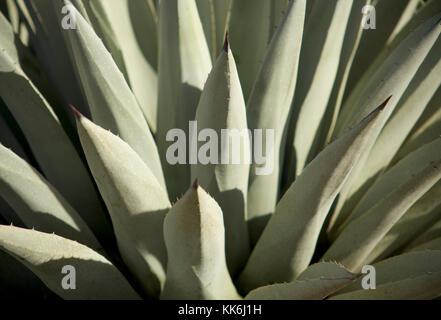 A closeup detail shot of a yucca / century plant outside Sedona, Arizona, USA. Stock Photo