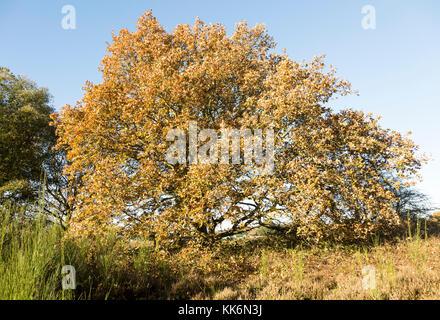 Quercus Robur English oak, heathland autumn, Shottisham, Suffolk, England, UK - Stock Photo