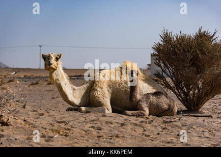 Camel mother and offspring on a camel farm in the desert north-east of Jeddah, Saudi Arabia. - Stock Photo