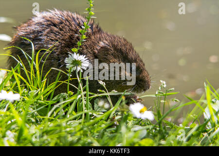 Water Vole Arvicola terrestris feeding on vegetation (and apple from visitors) at Arundel UK on river banks near - Stock Photo