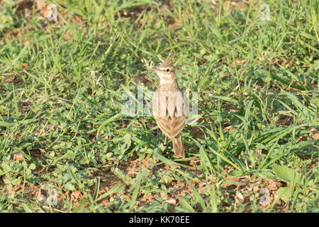 Crested lark (Galerida cristata) in a field in the Akamas Peninsula in Cyprus - Stock Photo