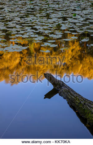 A log points toward the reflection of a forested area on a large pond, partially covered in lily pads, in Parc des - Stock Photo