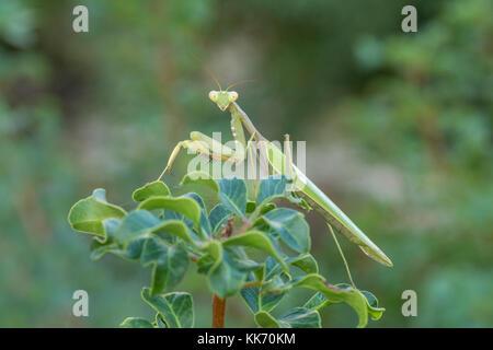 Close-up of female praying mantis (Sphodromantis viridis) in Cyprus - Stock Photo