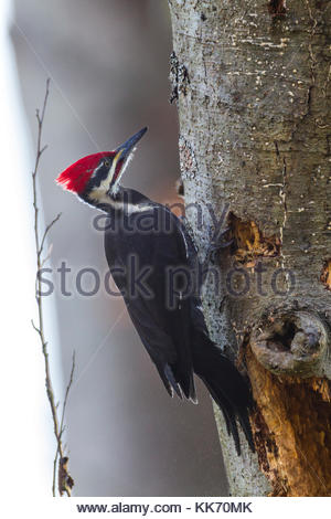 A male Pileated Woodpecker (Dryocopus pileatus) searches for food on a decaying Pacific Silver Fir tree (Abies amabilis) - Stock Photo