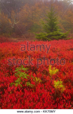 Fiery red ground cover carpets the Rohrbaugh Plains in fall color, located in the Dolly Sods Wilderness in the Monongahela - Stock Photo