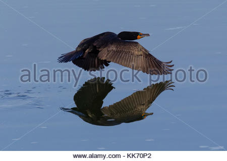 A double-crested cormorant (Phalacrocorax auritus) flies low over a small pond in the Columbia National Wildlife - Stock Photo