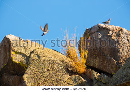 Two rock pigeons (Columbia livia) gather on the top of a rock outcropping in the Mormon Basin of Malheur County, - Stock Photo