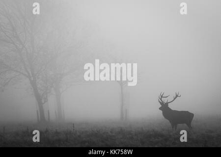 Stag, Male Red Deer, in the mist, cheshire, country park, wildlife