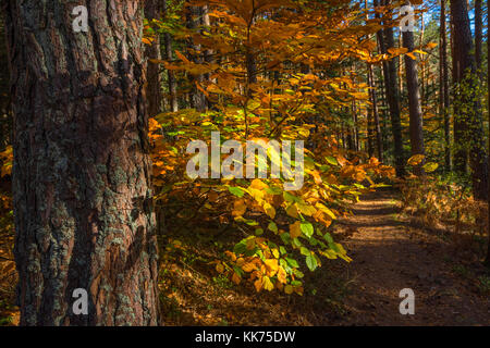sunbeams on colourful leaves, path through autumn forest, Mont Sainte-Odile, in German Odilienberg, peak in the - Stock Photo