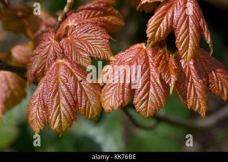 Young, red coloured, sycamore, Acer pseudoplatanus leaves expanding from their buds in spring, Berkshire, April