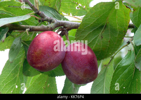 Ripe red fruit of a Victoria plum on the tree in summer, Berkshire, August - Stock Photo