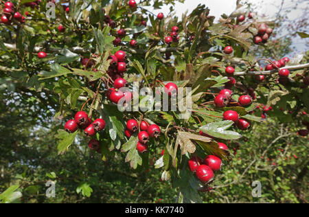 Ripe red hawthorn berries, Crataegus monogyna, and leaves in late summer, Berkshire, September - Stock Photo