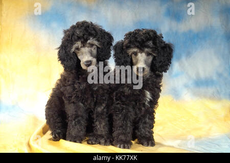 two young poodles - Stock Photo