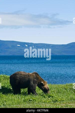 Brown bear( Ursus arctos). Kurile lake. Kamchatka. Siberia. Russia. - Stock Photo