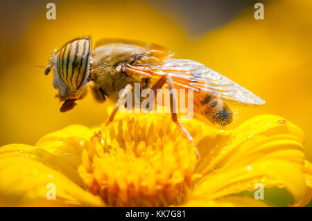 Close up of a bee on a yellow flower at first light - Stock Photo