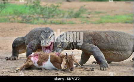 Komodo Dragon (Varanus komodoensis) Eating a Deer, Komodo ...