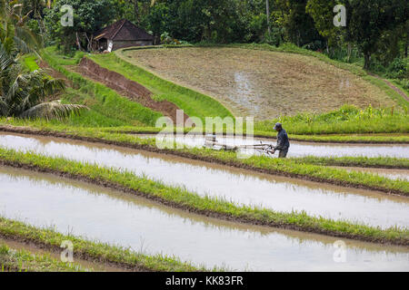 Labourer with mechanical plough / motor plow working in the Jatiluwih terraced paddy fields, rice terraces in the - Stock Photo