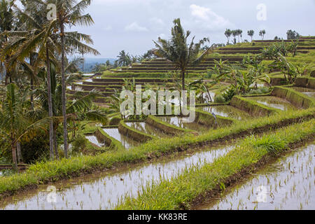 Jatiluwih terraced paddy fields, rice terraces in the highlands of West Bali, Indonesia - Stock Photo
