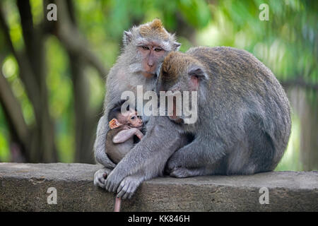 Crab-eating macaques / Balinese long-tailed macaque (Macaca fascicularis) in the Ubud Sacred Monkey Forest Sanctuary, - Stock Photo
