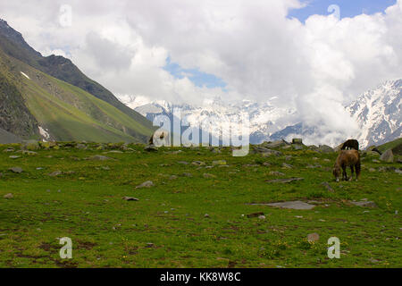 Mules and horses, grazing grass, near snow clad mountains. Himachal Pradesh, Northern India - Stock Photo