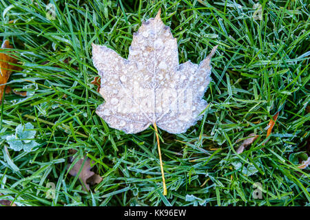 Frozen dry leaves on the ground. Close-up view of a maple dead leaf with frozen dew drops lying on the frost covered - Stock Photo