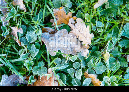 Frozen dry leaves on the ground. Close-up view of oak dead leaves with frozen dew drops lying on the grass covered - Stock Photo