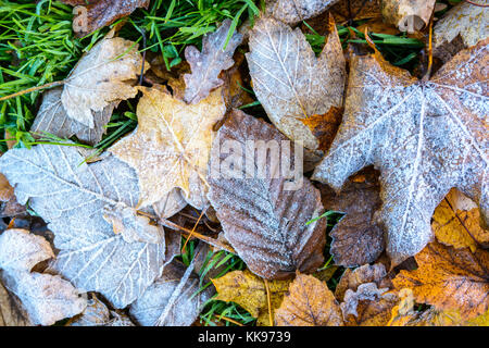 Frozen dry leaves on the ground. Close-up view of various dead leaves covered with frost lying on the grass. - Stock Photo
