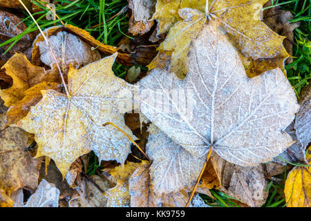 Frozen dry leaves on the ground. Close-up view of maple dead leaves covered with frost lying on the grass. - Stock Photo