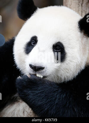 Nuan Nuan (means warmth), the first Malaysian-born Panda cub is sitting at the Panda Conservation Centre in Kuala - Stock Photo