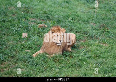 Male lion resting on grass. - Stock Photo
