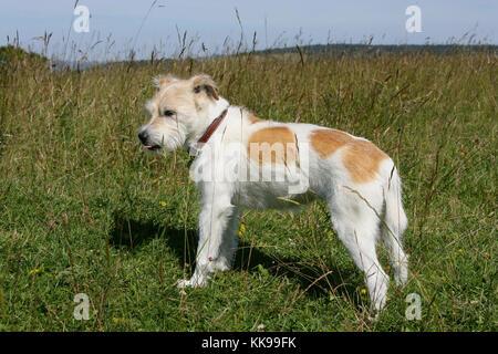 Terrier - Parson Jack Russell Parson Jack Russell Terrier Senior - Stock Photo