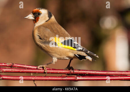 Wild goldfinch bird portrait close up native to Europe also known as Carduelis carduelis. The goldfinch has a red - Stock Photo